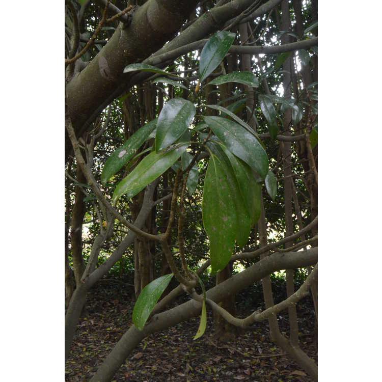 Magnolia grandiflora 'Baby Doll'