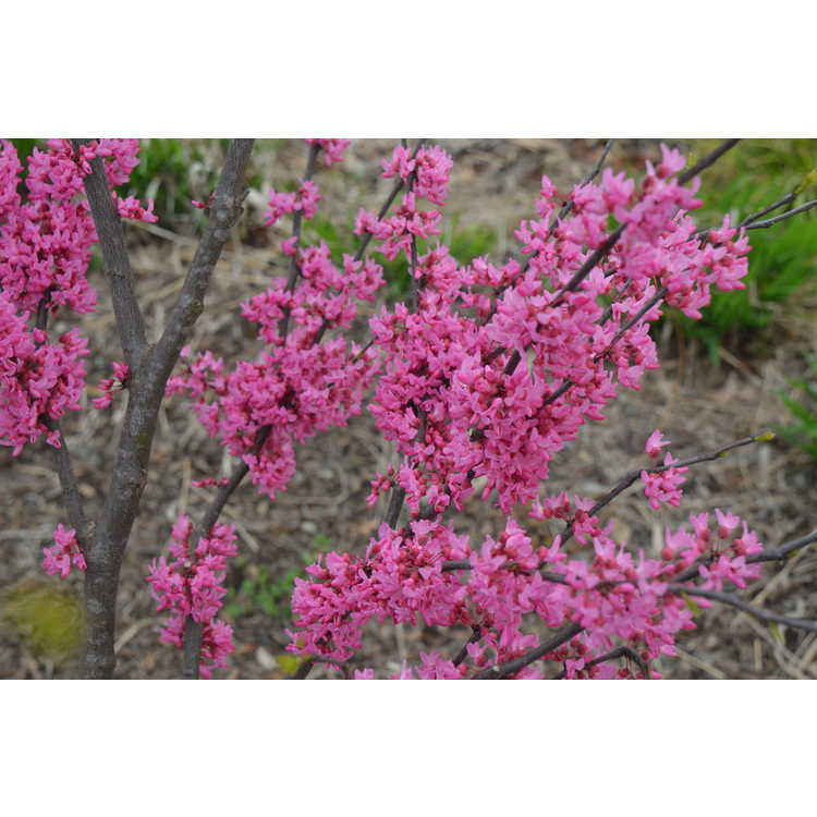 Cercis canadensis Appalachian Red