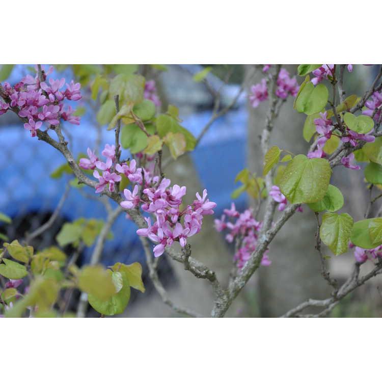 Cercis chinensis (dwarf form) - dwarf Chinese redbud