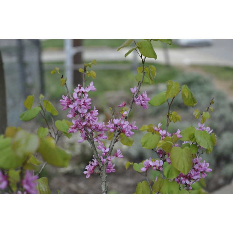 Cercis chinensis dwarf form
