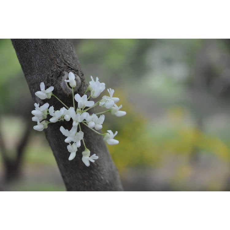 Cercis chinensis f. alba - white Chinese redbud