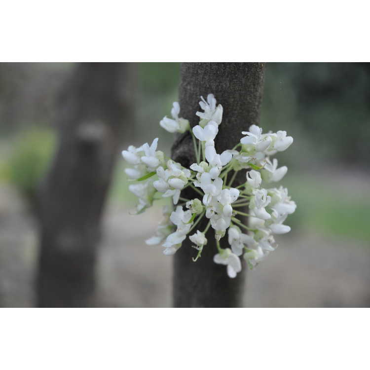 Cercis chinensis alba