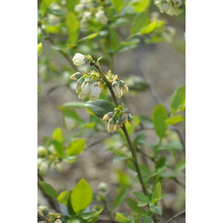 Vaccinium Earlibird Blue