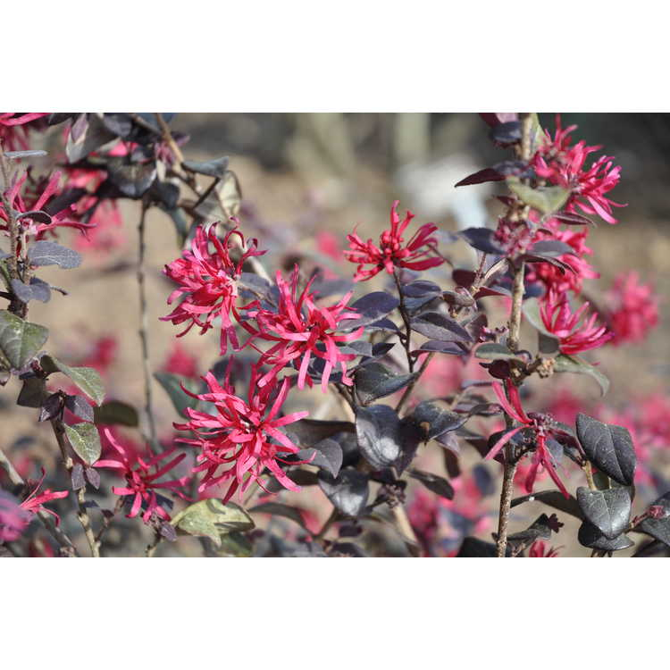 Loropetalum chinense rubrum Chang Nian Hong Ever Red