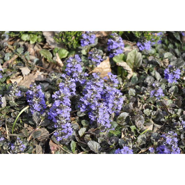 Ajuga reptans 'Binblasca' - Black Scallop black carpet bugle