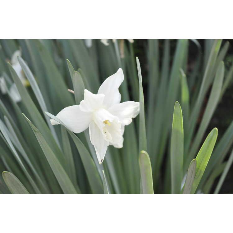 Narcissus 'Roseanna'