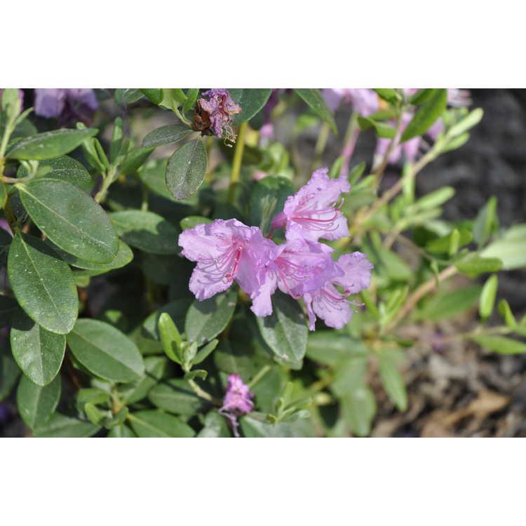 Rhododendron Chapmanii Wonder