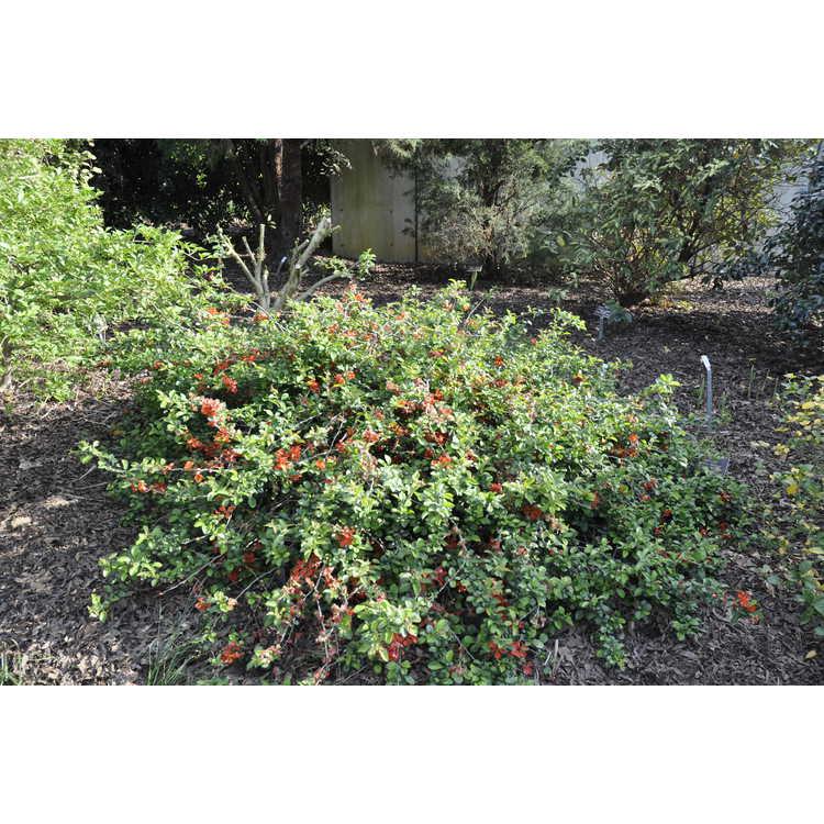 Chaenomeles japonica Pygmaea