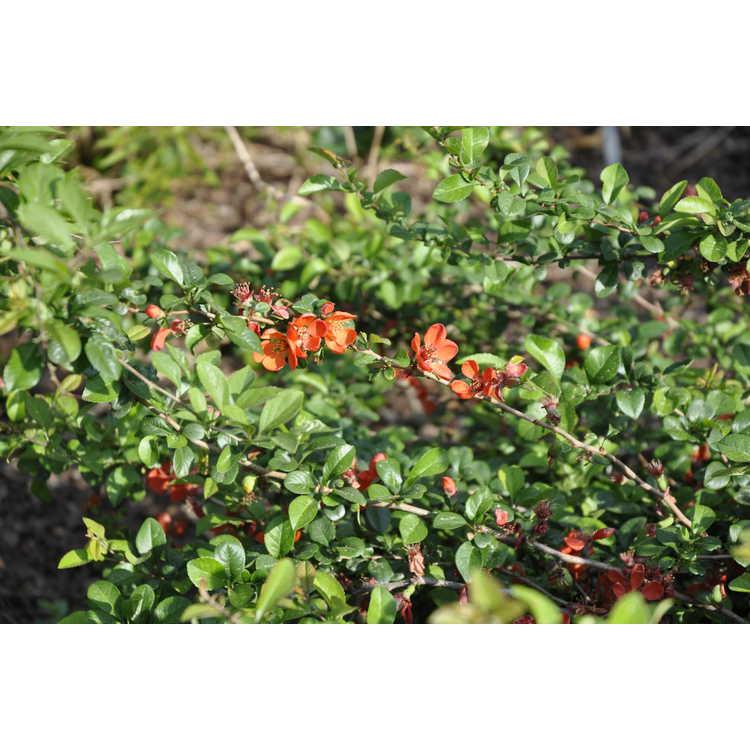Chaenomeles japonica 'Pygmaea' - dwarf Japanese flowering quince