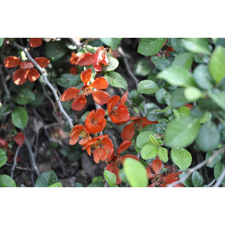 Chaenomeles japonica 'Pygmaea' - dwarf Japanese flowering quince
