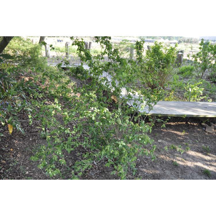 Hydrangea luteovenosa Aureovariegata
