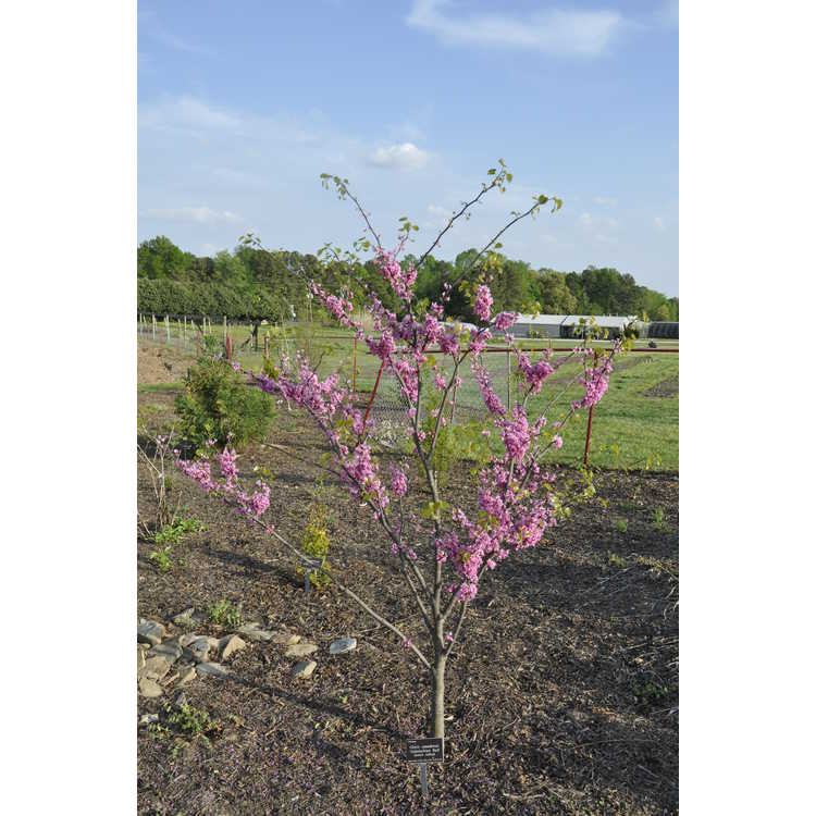 Cercis canadensis 'Appalachian Red' - eastern redbud