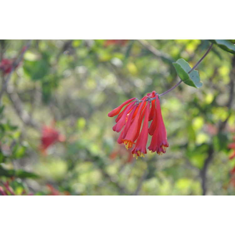 Lonicera sempervirens (early blooming) - trumpet honeysuckle