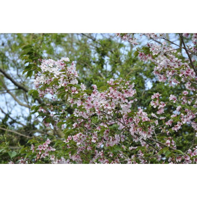 Prunus Westonbirt