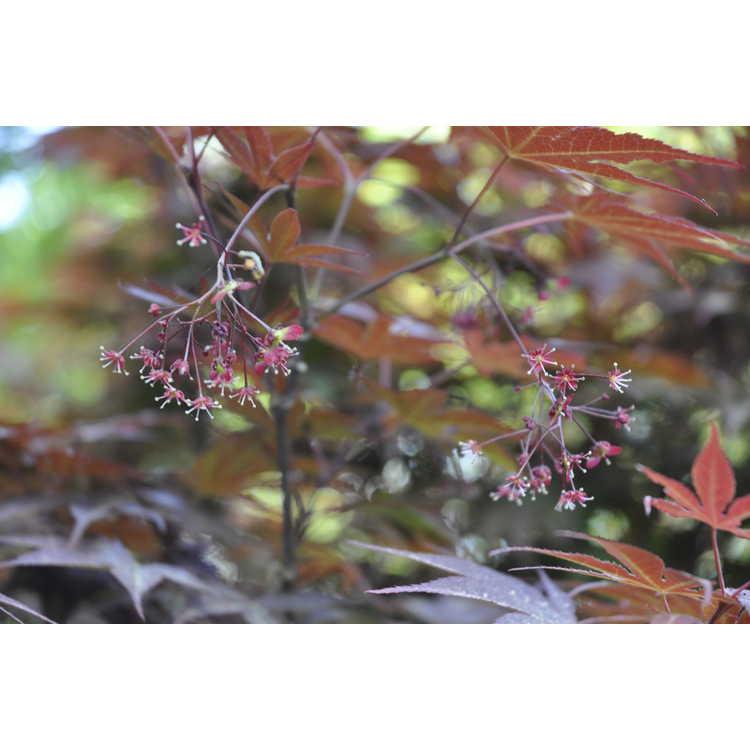 Acer palmatum 'E.P.'