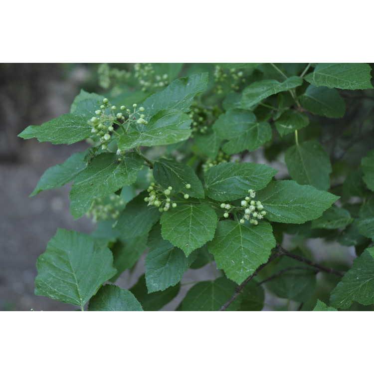 Acer tataricum tataricum