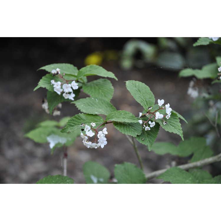Viburnum phlebotrichum