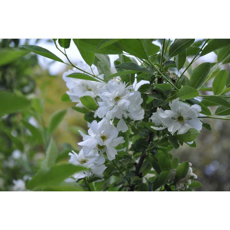 Exochorda racemosa - common pearlbush