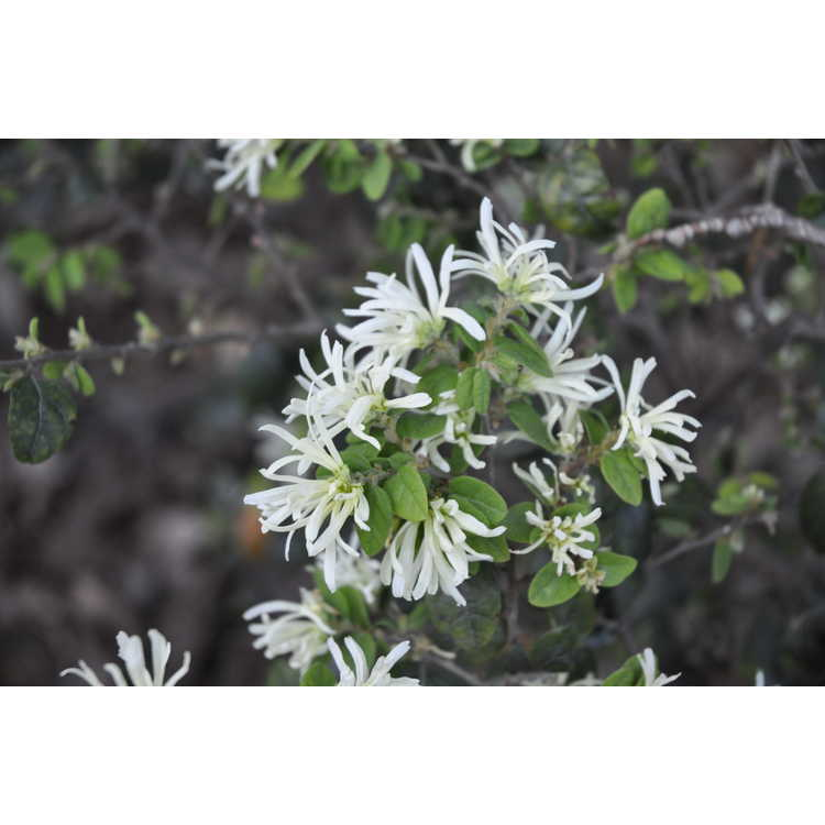 Loropetalum chinense 'Snowmound' - Snow Muffin compact Chinese fringe-flower