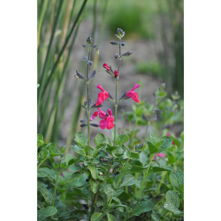 Salvia Cherry Chief