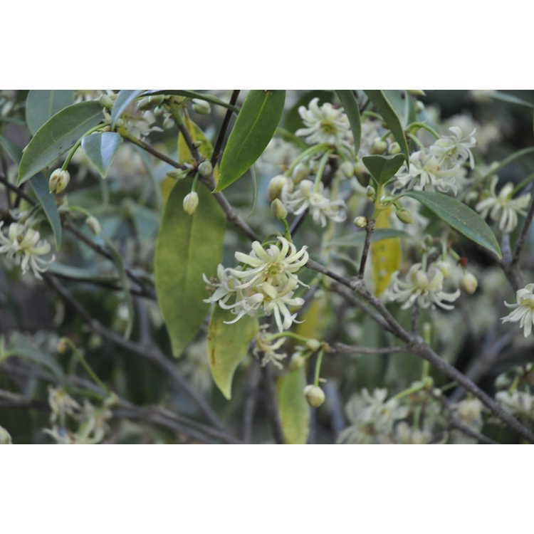 Illicium floridanum f. album 'Semmes'