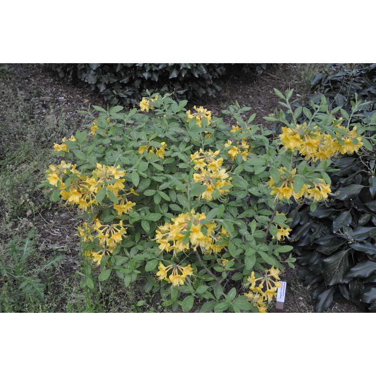 Rhododendron austrinum (yellow #3)