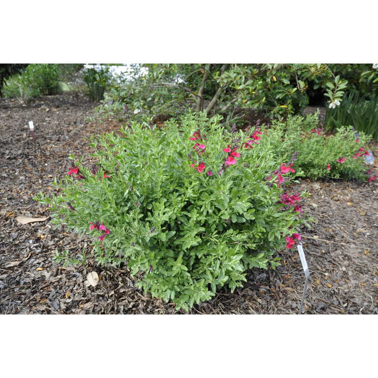 Salvia Red Letter