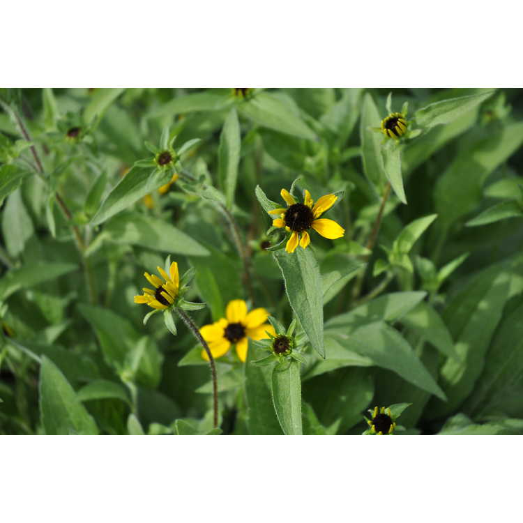 Rudbeckia triloba - three-lobed coneflower