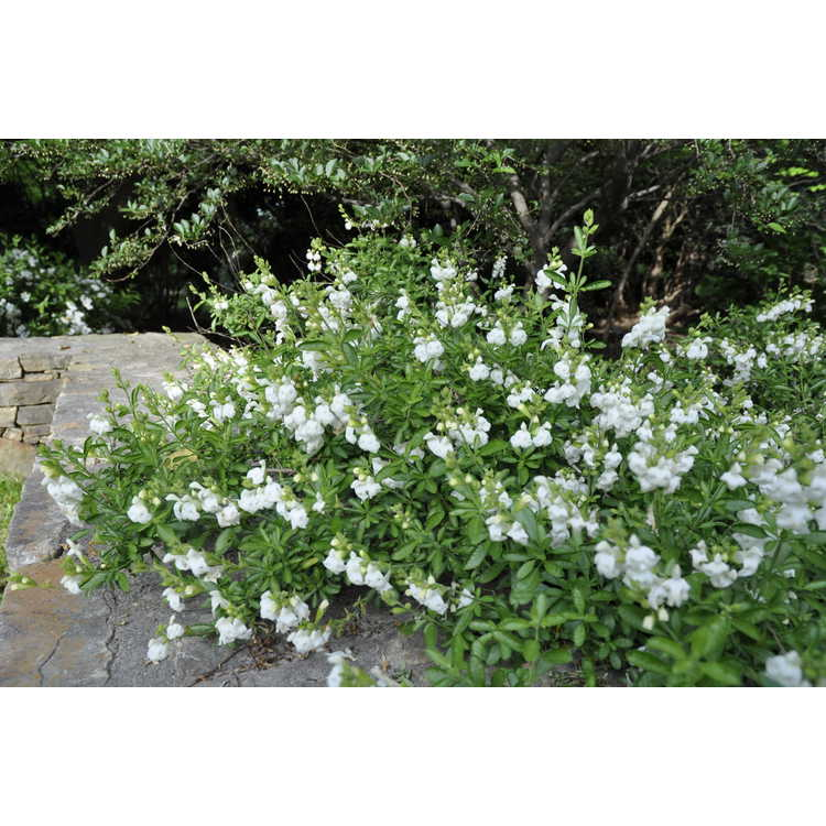 Salvia greggii Navajo White