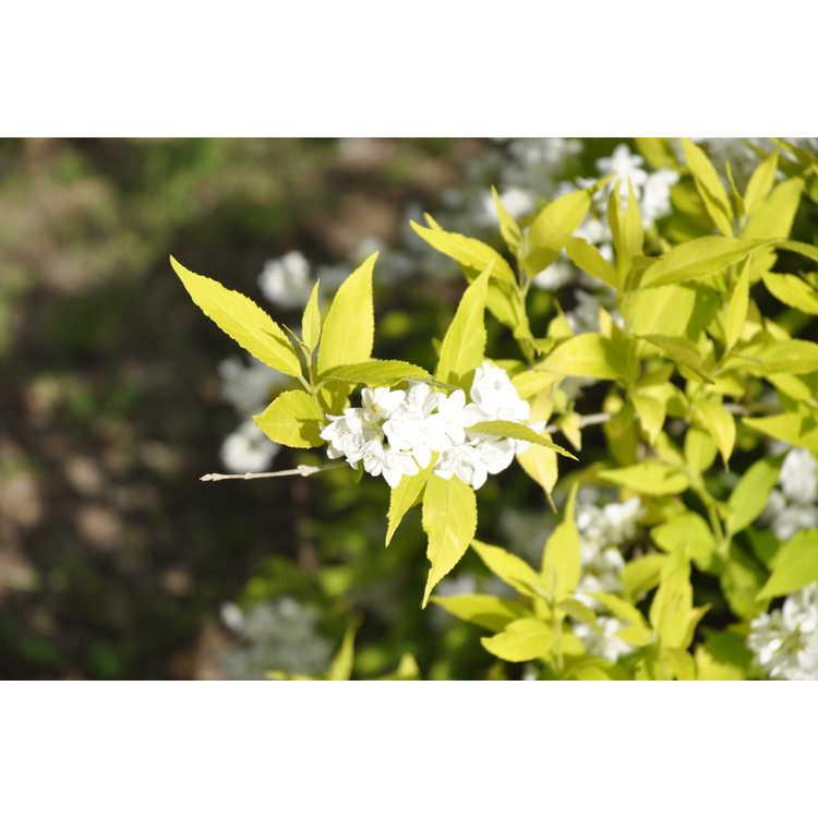 Deutzia gracilis Duncan Chardonnay Pearls