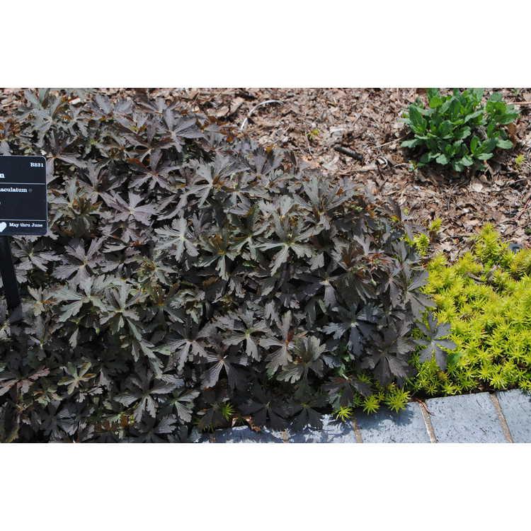 Geranium maculatum 'Espresso'