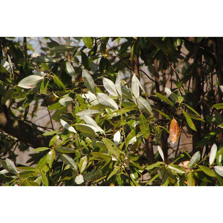 Magnolia virginiana var. australis 'Jim Wilson'