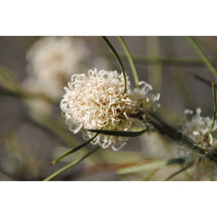Hakea microcarpa - small-fruited hakea