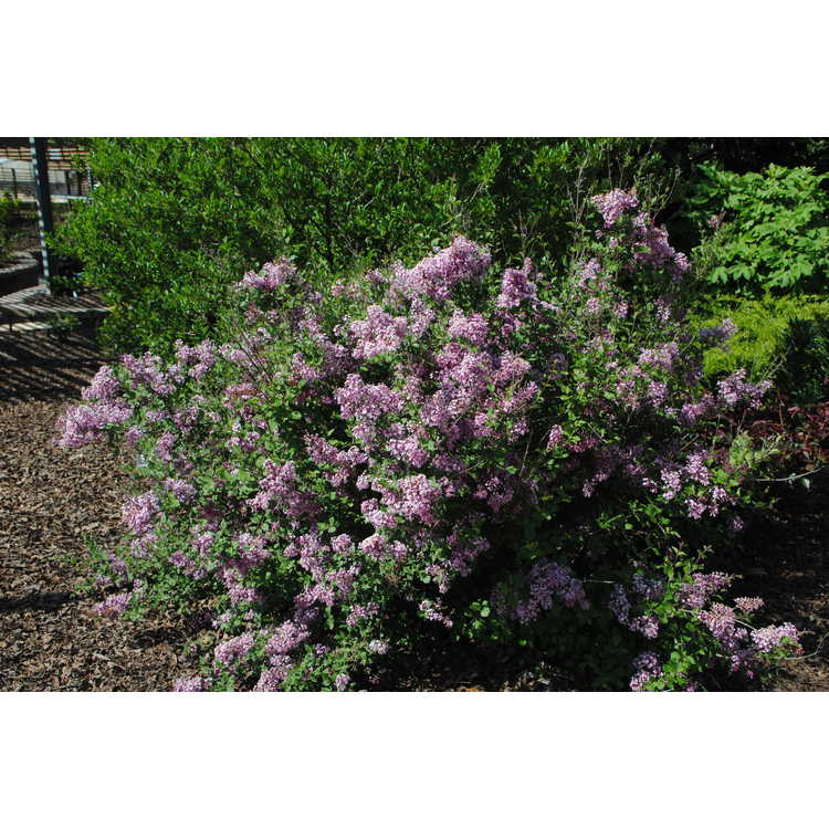 Syringa 'Penda' - Bloomerang re-blooming lilac