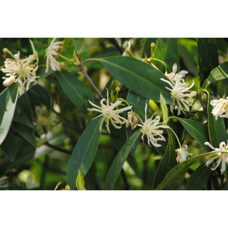Illicium floridanum album