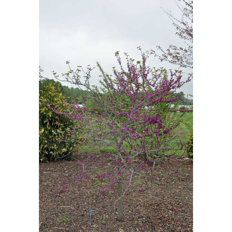 Cercis canadensis texensis Oklahoma
