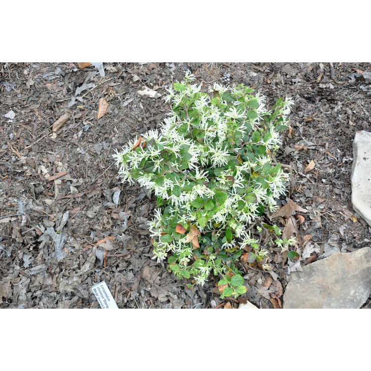 Loropetalum chinense Shang-White Emerald Snow