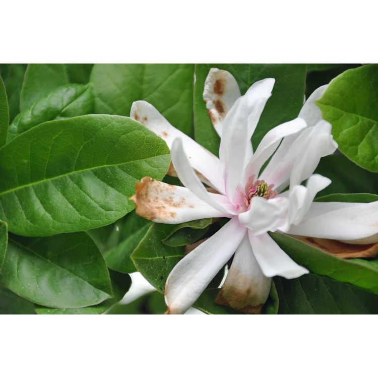 Magnolia loebneri Ballerina