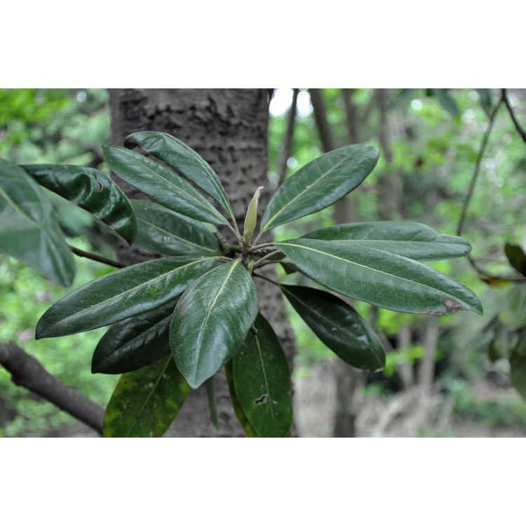 Magnolia 'Freeman' - Freeman hybrid magnolia