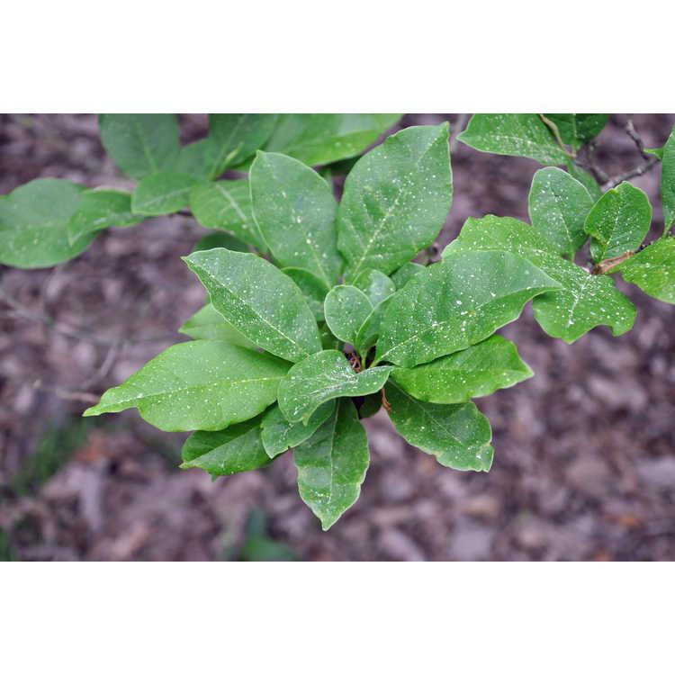 Magnolia 'Green Mist' - hybrid magnolia