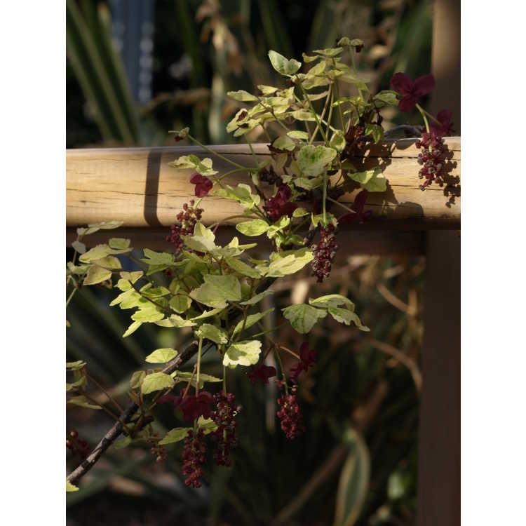 Akebia trifoliata variegated