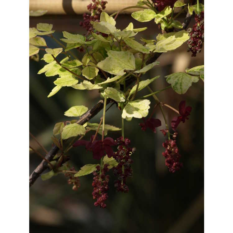 Akebia trifoliata (variegated) - variegated three-finger akebia