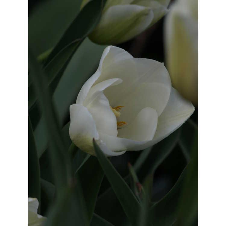 Tulipa 'Maureen' - tulip