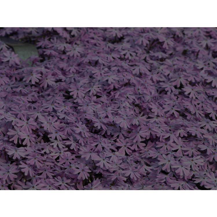 Phlox nivalis 'Camla' - trailing phlox