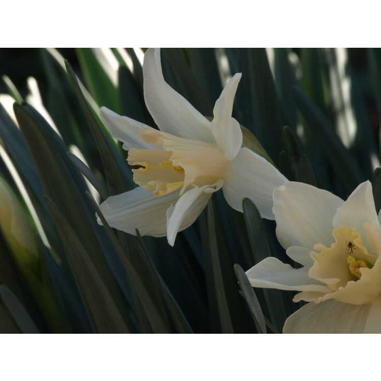 Narcissus 'Roseanna' - large-cupped daffodil