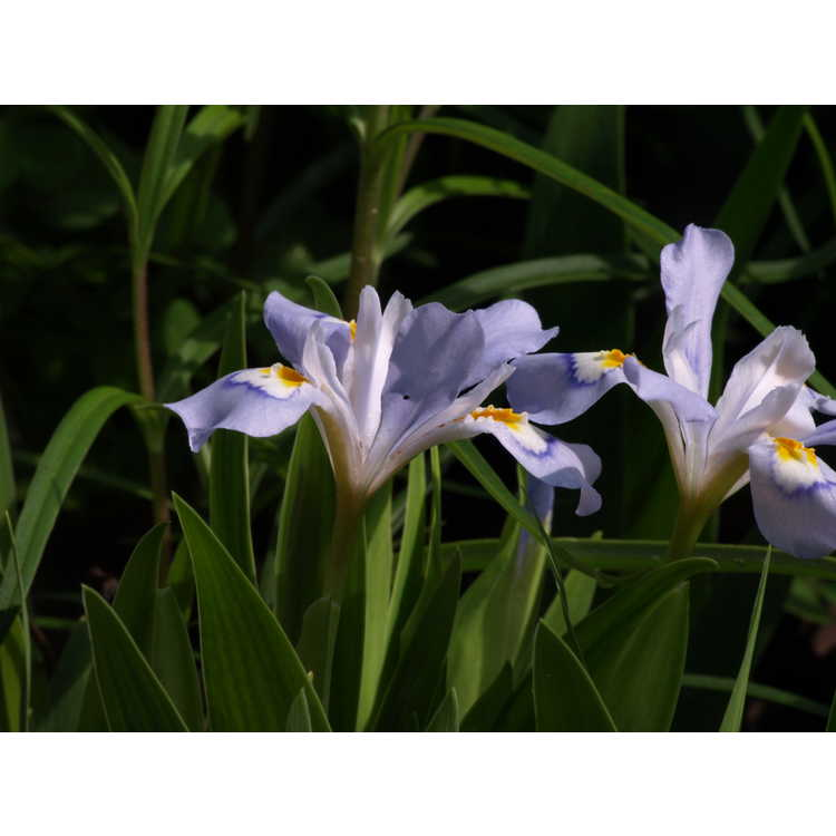 Iris cristata 'Vein Mountain'