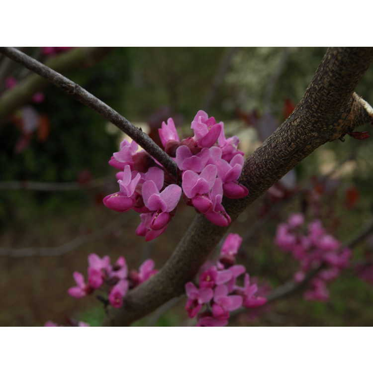 Cercis canadensis Texensis Merlot