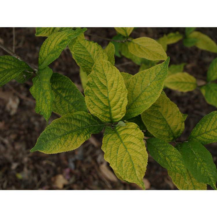 Callicarpa dichotoma 'Spring Gold' - golden purple beautyberry