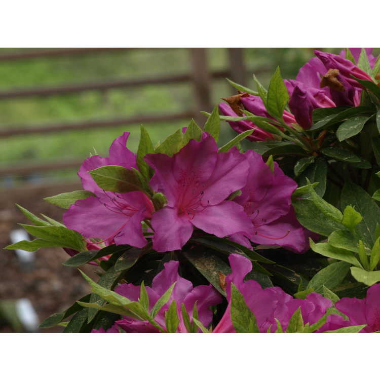 Rhododendron ×pulchrum (Matsuda gold) - variegated pretty rhododendron