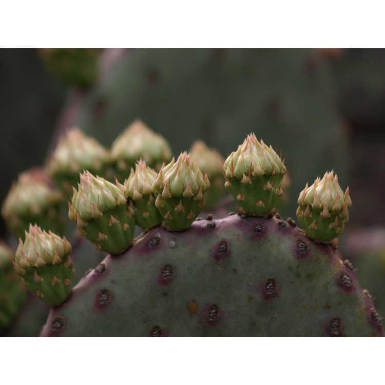 Opuntia basilaris var. aurea - creeping beavertail prickly pear